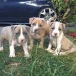 chiot-american-staffordshire-terrier-américain-trio