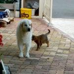 golden-retriever-chat-chien