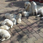 golden-retriever-chiot-chien