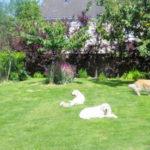 golden-retriever-jahttps://catedog.com/wp-content/uploads/2018/07/golden-retriever-jardin.jpgrdin