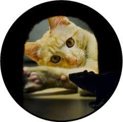 Alimentation du chat qui attrape une souris
