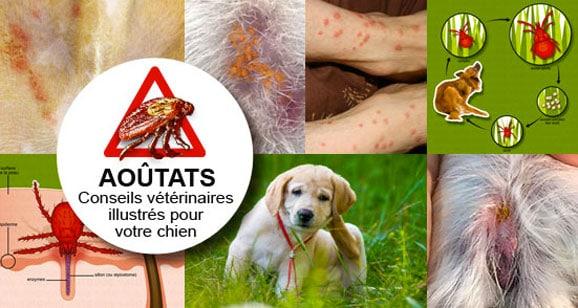 traiter-traitement-aoutat-aoutats-chien