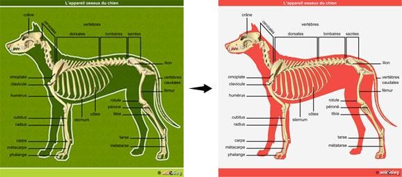 vente-achat-anatomie-illustration-chien-chat