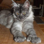Chat chaton maine coon 2