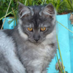 Chat chaton maine coon 4