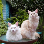 Chat chaton maine coon 5