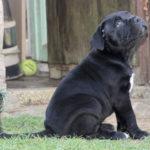 acheter-adopter-adoption-cane-corso-chiot