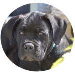 adopter-acheter-adoption-cane-corso-chiot
