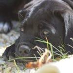 adopter-acheter-cane-corso-chiot