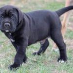adopter-adoption-acheter-cane-corso-chiot
