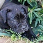adopter-adoption-cane-corso-chiot