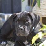 adoption-acheter-cane-corso-chiot