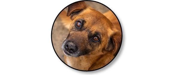 Espérance de vie d'un chien atteint d'une tumeur ou cancer