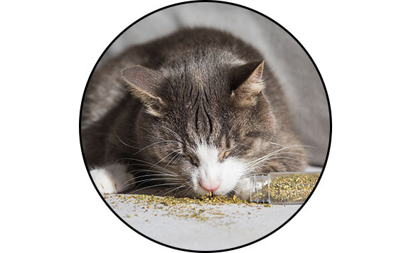 Herbe-aux-chats cataire ou catnip séchée pour chat
