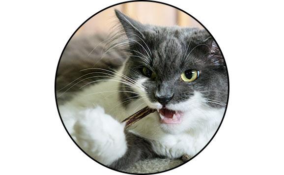 Herbe-aux-chats matatabi en bâton pour chat