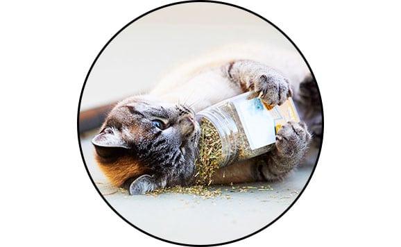 Herbe à chat cataire ou catnip séchée pour chat